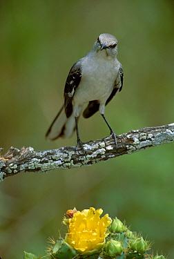 Mockingbird (Mimus polyglottus) on (Opuntia) cactus Texas USA  -  David Welling/ npl