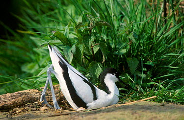 Avocet scraping nest (Recurvirostra avosetta) Norfolk UK Captive  -  Paul Hobson/ npl