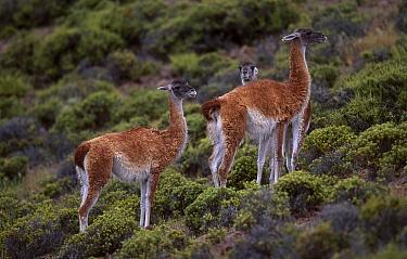 Guanacos (Lama guanicoe) Valdez, Patagonia, Argentina Chubut  -  Gabriel Rojo/ npl