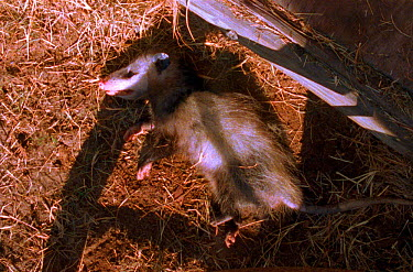 Opossum feigns death by rolling over and lying still with mouth and eyes half open Defensive tactic (Resolution restriction, image digitised from film, 'Weird Nature' tv series)  -  JDP/ npl