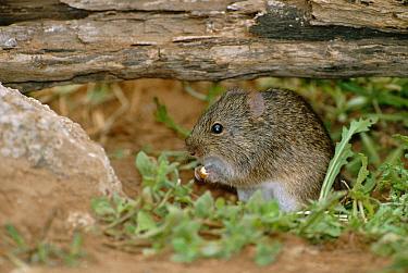 Hispid cotton rat feeding (Sigmodon hispidus) Texas, USA  -  David Welling/ npl