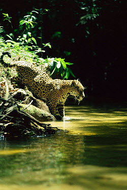 Wild Jaguar male hunting in stream (Panthera onca) Amazonia, Brazil  -  Nick Gordon/ npl