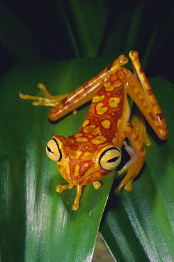 Chachi treefrog (Hyla picturata) Cotacachi-Cayapas Reserve, Ecuador  -  Pete Oxford/ npl