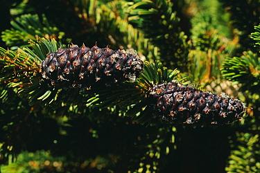 Bristlecone pine tree cones (Pinus aristata) California USA White Mountain  -  David Welling/ npl