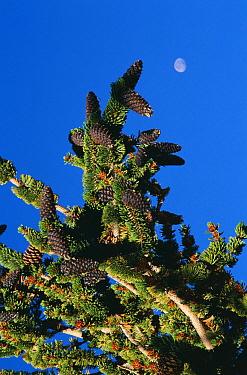 Bristlecone pine tree with cones, (Pinus aristata) White Mountain California USA  -  David Welling/ npl