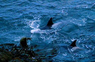 Killer whales (Orcinus orca) attacking elephant seal Crozet Islands Indian Ocean  -  Pete Oxford/ npl