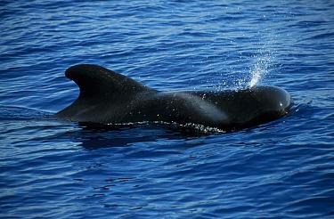 Short finned pilot whale (Globicephala macrorhynchus) Tenerife Canary Islands  -  Nick Barwick/ npl