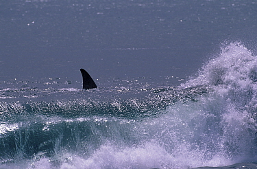 Killer whale in surf (Orcinus orca) Ile de la Possession Crozet Island  -  Pete Oxford/ npl