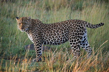 Leopard known as 'Half tail', Masai Mara, Kenya One of the animals featured in BBC tv series 'Big Cat Diary'  -  Marguerite Smits Van Oyen/ npl
