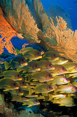 Blackspotted sweetlips fish on coral reef, Red Sea, Eygpt  -  Georgette Douwma/ npl