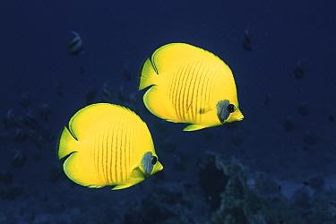 Two Golden, Masked butterflyfish, Red Sea, Eygpt  -  Georgette Douwma/ npl
