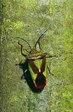 Parent bug (Elasmucha grisea) Wiltshire, UK  -  David Kjaer/ npl