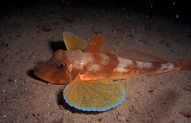 Tub gurnard on seabed (Trigla lucerna) Jersey, Channel Is, UK Bouley Bay  -  Sue Daly/ npl
