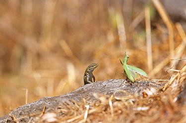 Italian wall lizard (Podarcis sicula) face off with Praying mantis, Sardini, Italy  -  Dietmar Nill/ npl