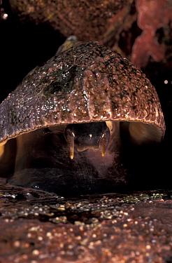Limpet close up (Patella argenvillei) head visible, low tide Pacific coast, South Afric  -  Claudio Velasquez/ npl