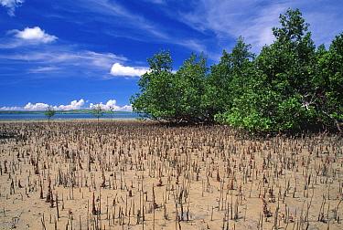Mangroves, Madagascar Indian Ocean  -  Claudio Velasquez/ npl