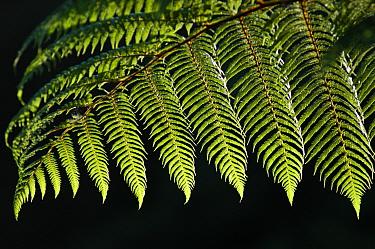 Black tree fern (Cyathea medullaris) North Is, New Zealand  -  Adam White/ npl