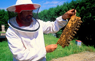 Bee keeper in protective clothing with queen bee cells (Apis mellifera) UK  -  Mark Yates/ npl