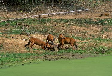 Dhole pack (Cuon alpinus) on Sambar kill Nhole NP South India  -  Lockwood & Dattatri/ npl