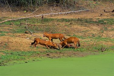 Dhole pack on sambar kill (Cuon alpinus) N'hole NP S India  -  Lockwood & Dattatri/ npl