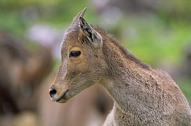 Nilgiri tahr juvenile (Hemitragus hylocrius) Eravikulam NP, Kerala  -  Lockwood & Dattatri/ npl