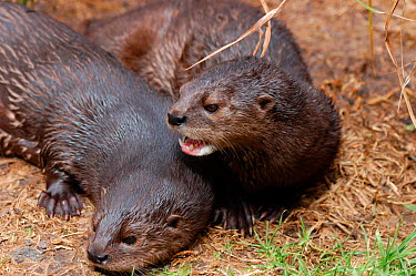 Spotted-necked otters (Lutra maculicollis) South Africa  -  Tony Phelps/ npl