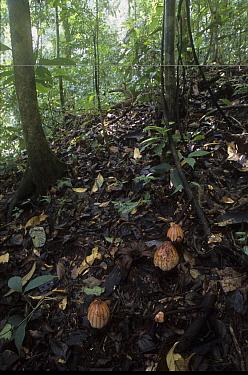Dry flower and bud of plant parasite (Rhizanthes lowii) Ulu Temburong NP Brunei, Borneo  -  Daniel Gomez/ npl