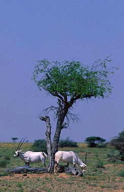 Arabian oryx feeding under tree (Oryx leucoryx) Oman Middle Eas  -  Hanne & Jens Eriksen/ npl