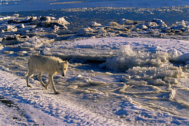 Adult female white Arctic race of Grey wolf (Canis lupus) walking along ice habitat, Ellesmere Island, Canada Wild  -  Jeff Turner/ npl