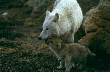 Grey wolf (Canis lupus) (white arctic race) mother with pup begging for food, Ellesmere Island, Canada  -  Jeff Turner/ npl
