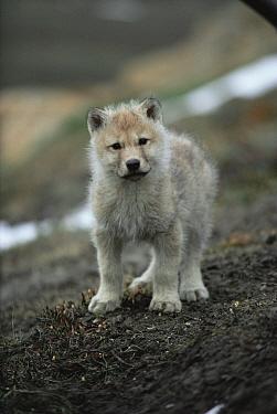 White Arctic race tiny Grey wolf pup (Canis lupus) Ellesmere Island, Canada Wild  -  Jeff Turner/ npl