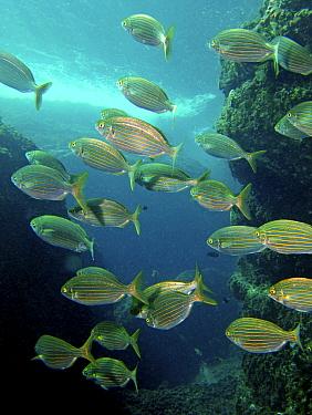 Shoal of Saupe (Sarpa salpa) Mediterranean  -  Jose B. Ruiz/ npl