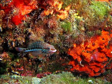 Comber fish (Serranus cabrilla), Mediterranean  -  Jose B. Ruiz/ npl