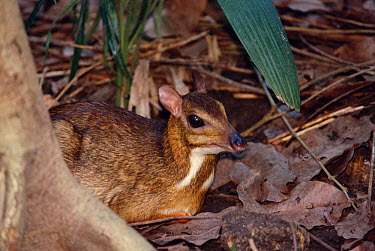 Lesser Malay mouse deer (Tragulus javanicus) occurs in SE Asia  -  Pete Oxford/ npl