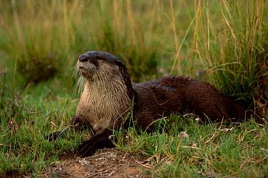 African clawless otter (Aonyx capensis) Senekal South Africa  -  Pat De La Harpe/ npl