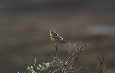 Red throated pipit in breeding plumage (Anthus cervinus) Vadso Norway  -  Mike Read/ npl