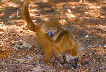 Sclater's black lemur carrying young (Lemur macaco flavifrons) captive  -  Lynn M. Stone/ npl