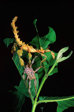 Macleay's spectre or Giant Prickly Stick Insect (Extatosoma tiaratum) with shed exoskeleton on leaves, originates from Australia  -  Pete Oxford/ npl