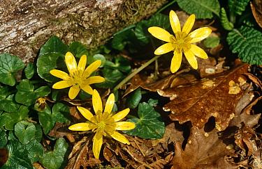 Lesser celandine in flower (Ranunculus ficaria) Scotland,  -  Duncan McEwan/ npl