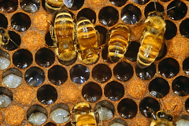 Honey bee workers feeding larvae (Apis mellifera) UK  -  John B Free/ npl