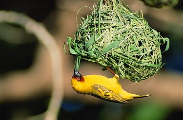 Ruppell's weaver male making nest (Ploceus galbula) Oman  -  Hanne & Jens Eriksen/ npl