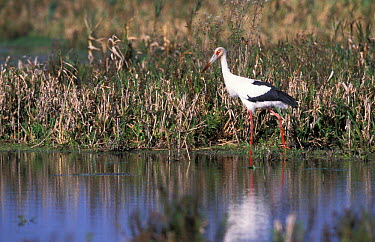 Maguari stork in marsh (Ciconia magueri) Argentina  -  Gabriel Rojo/ npl