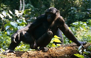 Bonobo (Pan paniscus) adult male in rainforest, Wamba, Zaire  -  Karen Bass/ npl