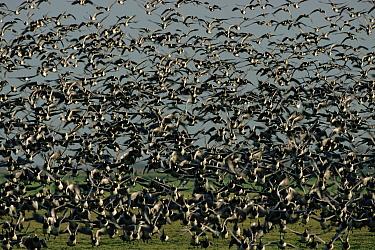 Barnacle geese (Branta leucopsis) taking off Holland, Europe  -  Dietmar Nill/ npl