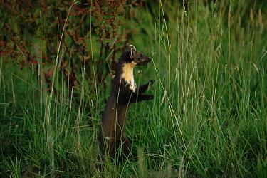 Pine marten (Martes martes) stadning in long grass Germany, Europe  -  Dietmar Nill/ npl