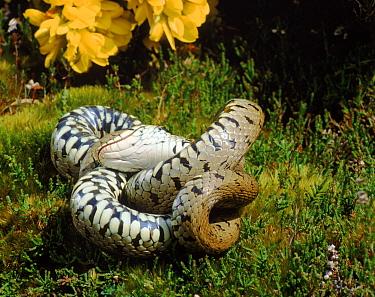 Grass snake female feigning death, defensive behaviour, UK  -  Tony Phelps/ npl