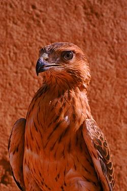 Long-legged buzzard (Buteo rufinus) Morocco, Captive  -  Graham Hatherley/ npl