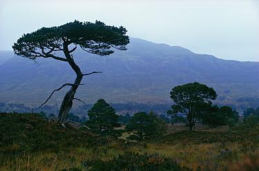 Scots pine tree silhouette (Pinus sylvestris) Inverness-shire, Scotland, UK  -  Tony Evans/ npl