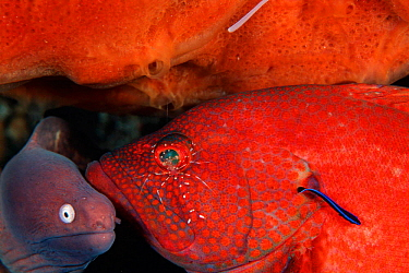 Tomato grouper (Cephalopholis sonnerati) being cleaned by shrimp and wrasse,  -  Doug Perrine/ npl
