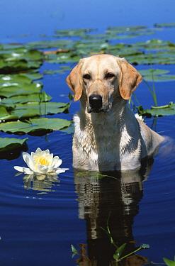 Labrador retriever dog in lake (Canis familiaris) Illinois, USA  -  Lynn M. Stone/ npl
